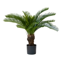 Baby cycas palm