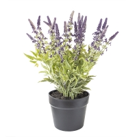 Small Potted Lavender Plant