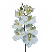 Phaleonopsis  crème 20