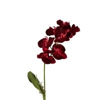 Phaleonopsis  fushia 41