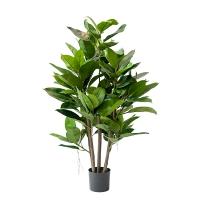 Plante caoutchouc  35''