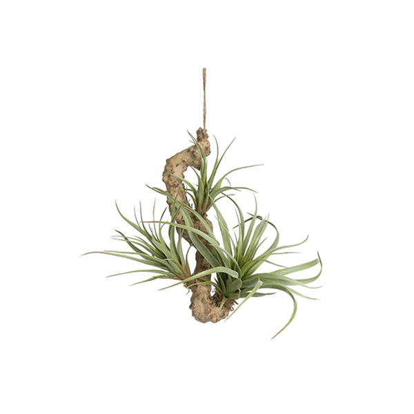 plante d 39 air tillandsia suspendue 9 39 39 d cors v ronneau. Black Bedroom Furniture Sets. Home Design Ideas