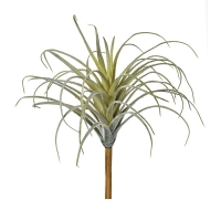 Pale green air plant, 5''