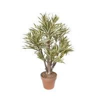 Plante Dracaena 3'