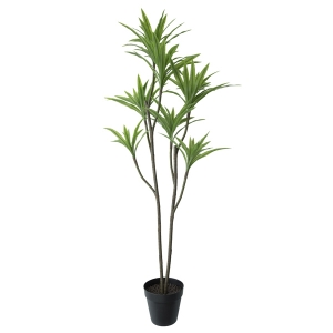 plante dracaena en pot noir 63 39 39 d cors v ronneau. Black Bedroom Furniture Sets. Home Design Ideas