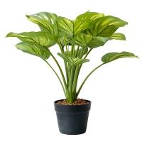 Plante hosta crème et vert 22''