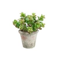 Plante jade en pot, 7,5''