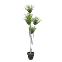 Umbrella grass plant 4 feet