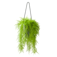 Lime Green Cascading Ferns in Hanging Planter