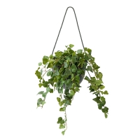 Ivy in Suspended Pot