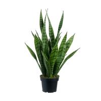 24'' Green sanseveria in plastic pot
