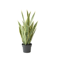 Green & Yellow Potted Sansevieria, 24''