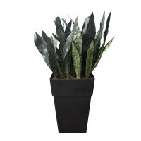 Outdoor potted sanseveria 12 x 12 x 36'', 2 years warranty