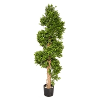 Boxwood spiral plant, int./ext. 5 feet, 2 years warranty