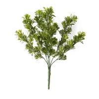 Tige de podocarpus