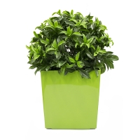 Sweetbay topiary in green planter, int./ext.