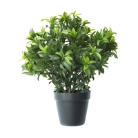 24'' Sweetbay topiary in pot , 2 years warranty