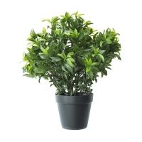 24'' Sweetbay topiary in pot , 2 years warranty