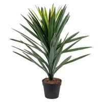 Brazilian Yucca, indoor 36''