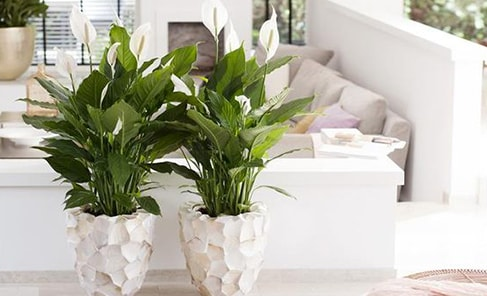 oversized spathiphyllum plants in geometric white pots