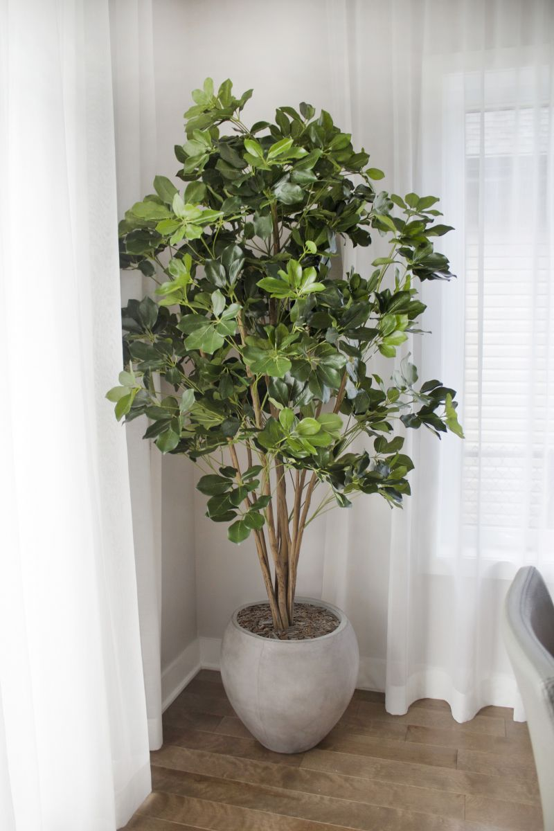Schefflera Exotica in Round Cement Pot